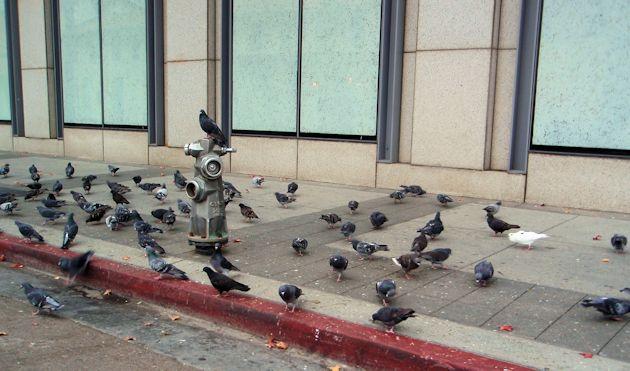 2014 Chevrolet Cruze pigeons